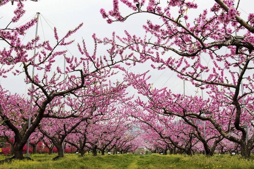 粉色桃花树林