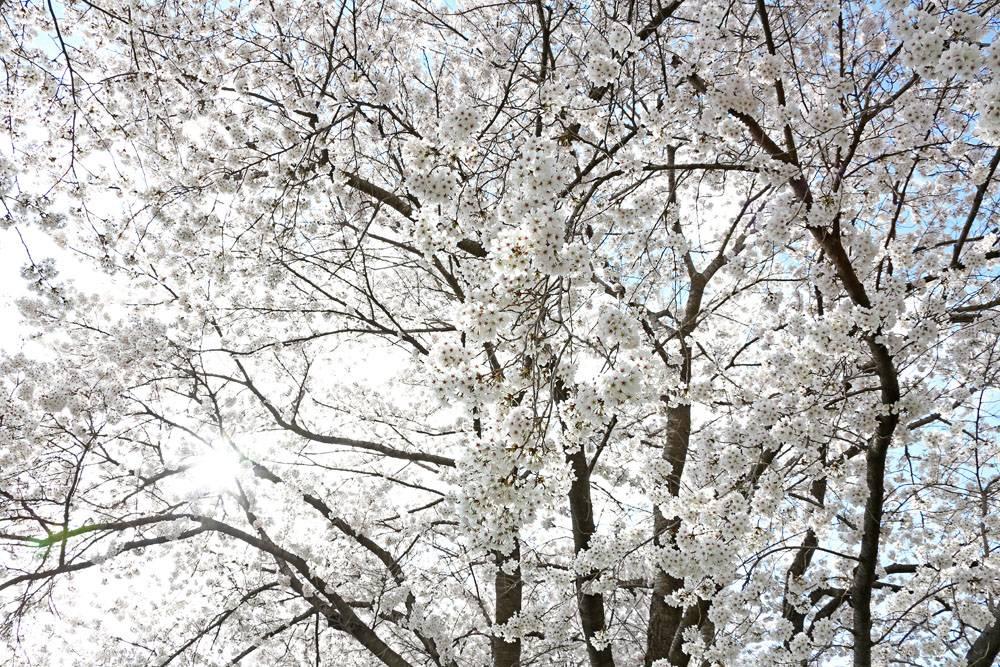 树林的白花树