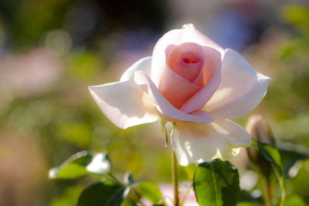 阳光下的淡粉色玫瑰