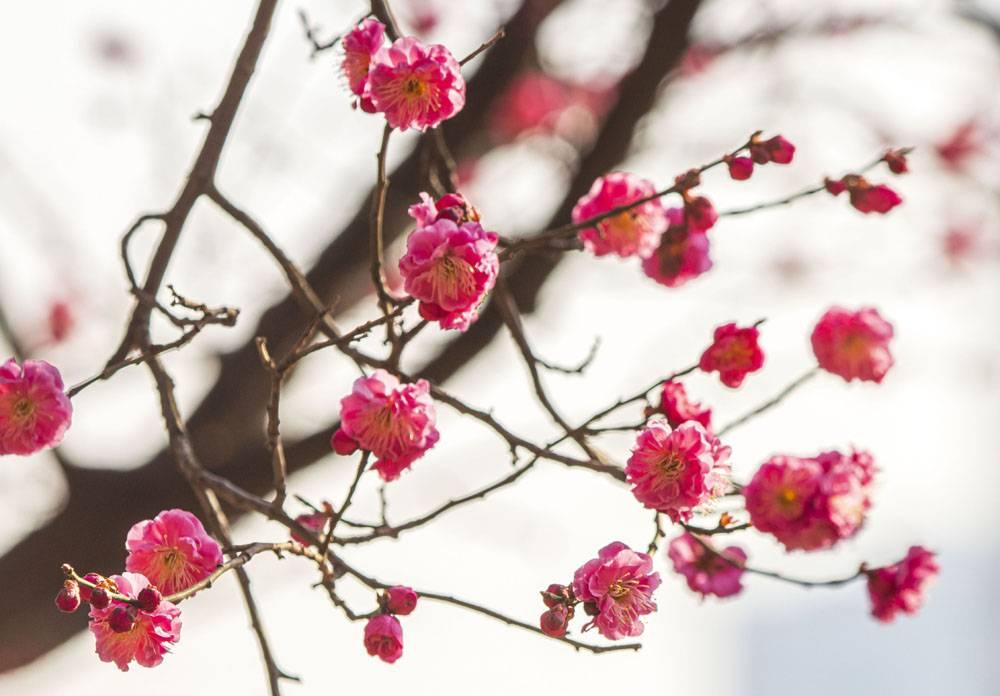 树枝粉色的花卉
