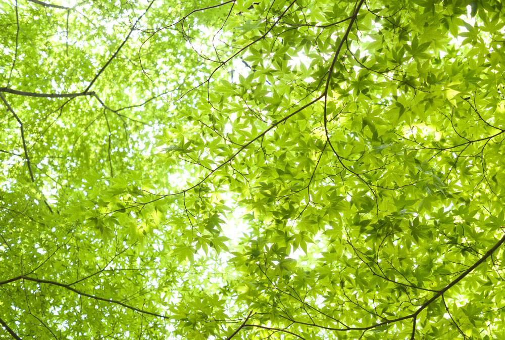 春天翠绿色的嫩叶