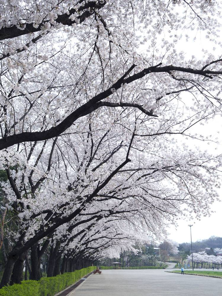 公园的白色花卉大树